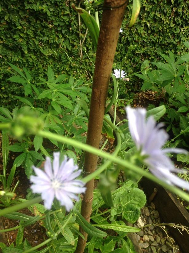 Flor de Almeirão.